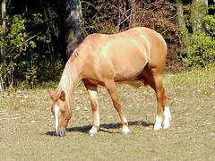 Palamino Horse (chippewabear) Tags: horse mare grazing palamino