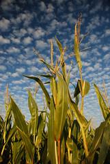 Cornfield (jimdeane) Tags: sky plant nature clouds corn midwest pumpkinpatch chicagoist