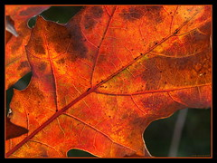 Red (ExeDave) Tags: uk autumn red england tree nature leaves evening leaf oak october autumncolours explore devon gb redoak starcross naturesfinest blueribbonwinner quercusrubra slightcrop interestingness500 teignbridge platinumphoto lateafternooon moreorlessastaken