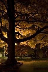 Silhouette (Whirling Phoenix) Tags: longexposure autumn tree fall nature lamp leaves night leaf illinois nikon streetlamp foliage nighttime champaign kellogg naturephotography d80
