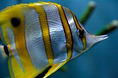 Copperband Butterflyfish by Ed Townend, on Flickr