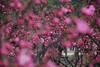 Just a little something... (NowJustNic) Tags: china pink flower tree catchycolors nikon blossom path beijing 北京 中国 花 botanicalgarden xiangshan 树 植物园 haidian 香山 westernhills 北京植物园 zhiwuyuan fragranthills d80 nikkor18135mm antiblues