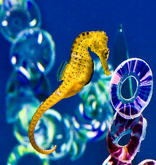 Sea Horse (julesnene) Tags: travel nature oregon aquarium seahorse unique pacificocean newport oregoncoast centralcoast gettyimages oregoncoastaquarium gettyimage mateforlife monogamous julesene unusualequineshape malebearstheunbornyoung photobyjuliasumangil