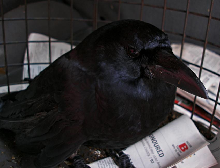 injured crow