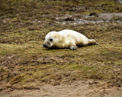 Wheres my Mummy!! (Andreas-photography) Tags: white cute nikon andrea lincolnshire essex d300 sealpup donnanook 18200vr t189 gnpc