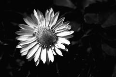 Moment of Apparent Calm (FotoRita [Allstar maniac]) Tags: life bw italy white black rome flower roma digital canon daisy fiore myfavourites canoneos350d eos350d margherita byfotorita 123bw momentofapparentcalm