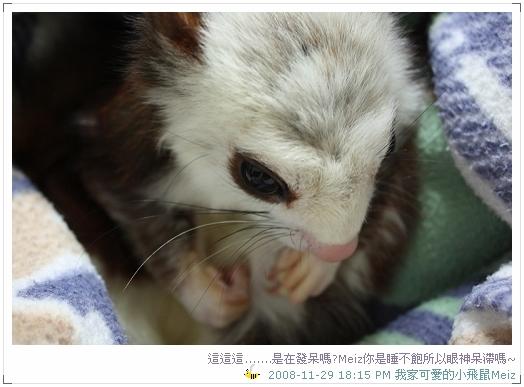 2008年11~12月份小飛鼠Meiz的生活照 (6)