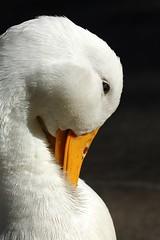 Shy (pearmon) Tags: white bird animal closeup bill duck feathers shy headshot poultry coy graceful quack peking scurve photofaceoffplatinum pfogold feb09pfobrackets mar09pfobrackets