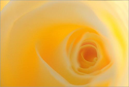 Flower / Yellow Rose / yellow flower / yellow / nature / -  رز زرد - yelrose