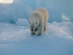Polar bear at an ice berg at Svalbard (ellinorutbult) Tags: norway svalbard polarbear iceberg