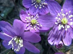 sinivuokot - hepatica (vaula) Tags: blue plant flower nature catchycolors spring purple springflowers kasvi luonto liverwort pennywort sininen kevät kukka sinivuokko commonhepatica kevätkukka kidneywort kevätkukat