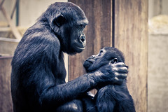 I love you, mom (Joao.bud) Tags: love animal germany mom deutschland zoo monkey parents tiere gorilla stuttgart mommy mother son mae macaco mutter animais filho alemanha tier gorila affen wilhelma sohn menschenaffen