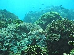 圖. 1 活珊瑚覆概率接近百分之百的基翬珊瑚礁 (郭兆揚 攝影)