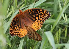 Great Spangled Fritillaries Mating (Tombo Pixels) Tags: canon newjersey great nj lepidoptera mating spangled fritillary greatspangledfritillary twb1 davidsonmill davidsonmillpond davidson111305