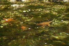 DSC01063 (spuzzum42) Tags: kayak starfish victoria kayaking brentwoodbay todinlet
