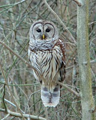 Suprise! It's a Barred Owl (ut.law97) Tags: bird tn tennessee owl barred barredowl strix strigiformes varia naturesfinest strixvaria strigidae ar1 chouetteraye natureselegantshots bhulistado
