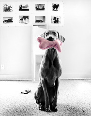 surprise (saikiishiki) Tags: portrait dog chien cute love toy grey play sweet ghost gray hound hond patient perro hund weimaraner le kawaii surprise lovely bestfriend polite lovebug  perra inu slowshutterspeed omoshiroi weim mukha wannaplay vorstehhund 20f weimie thelittledoglaughed gundogsfundogspotd waimarana saikiishiki mukhatidbit