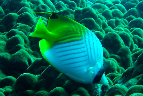 Threadfin Butterflyfish on Similan Islands