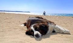 Ada'da Keyif / Pleasure on Island (syrsln / ibo guido) Tags: blue sea dog turkey relax march nikon tour trkiye guide dslr 2008 deniz mavi mart bozcaada gezi kumsal kpek anakkale objektif d80 kartpostal enstantane rehber deklanr syrsln flickrturkey beazh