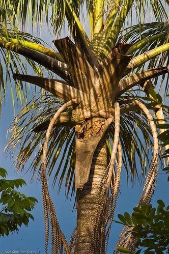 Palmeira do buriti