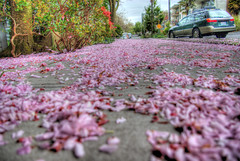 Pink Petals (David R Preston Photography) Tags: seattle pink car station wagon petals walk side hill capitol hdr 5xp pentaxk10d davidrprestonphotography