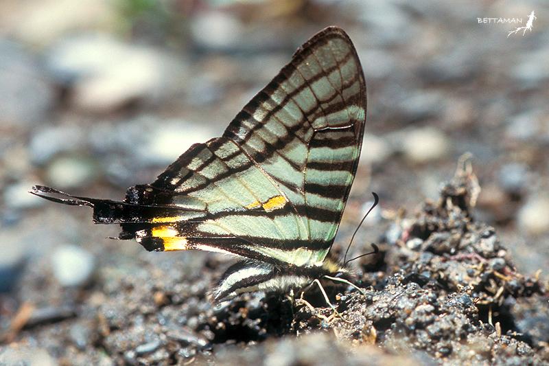 木生鳳蝶 (雄) Graphium (Pazala) timur chungianus  (Murayama, 1961) (Male)