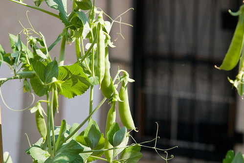 pea pods, just before I picked two and ate them