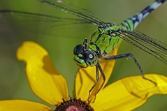 Dragon Fly (Misanthrope_) Tags: nature texas samhoustonnationalforest abigfave platinumphoto impressedbeauty diamondclassphotographer brillianteyejewel overtheexcellence nikond300 goldstaraward qualitypixels sigmaapomacro150mmf28exdghsm