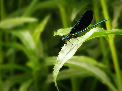 [フリー画像] 動物, 昆虫, トンボ, グリーン, 200807070100