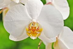Orchidee (Habub3) Tags: flowers macro nature photo flora nikon blumen orchidee makro d300 viewonblack habub3