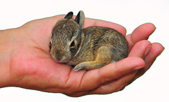 Baby Bunny on White (Jeff Clow) Tags: rabbit bunny nature bravo wildlife tiny dfw pure onwhite fragile inmyhand purity marshrabbit platinumphoto jeffrclow top20texas