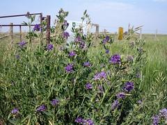 Alfalfa in a Field
