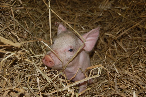 Tiny piglet settles in for the night. by Farm Sanctuary.
