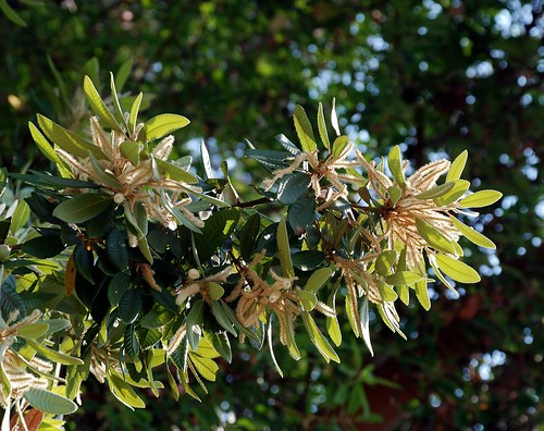 Lithocarpus densiflora - Tan Oak
