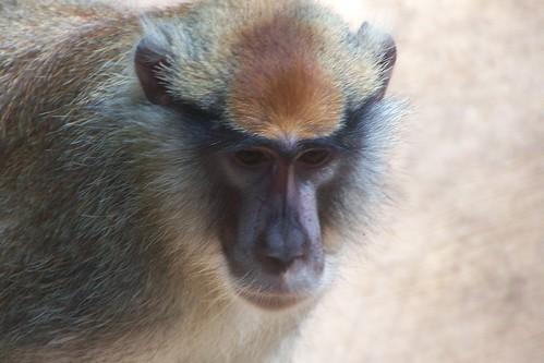 Patas Monkey face