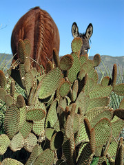 (shadowplay) Tags: red cactus horse dusty composition donkey ears burro grazing ranchito aguadulce hcafcolor