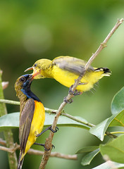 Deep Throat (kampang) Tags: feeding olivebackedsunbird cinnyrisjugularis slbfeedingyoung