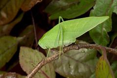 KatydidDSC_3052 copy (SouthWestDreams ) Tags: macro insect katydid tamron90