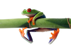 Get A Grip (Megan Lorenz) Tags: pets green nature studio colorful published looking bright watching amphibian frog whitebackground getty hanging curious staring treefrog isolated alert gettyimage redeyedtreefrog naturesfinest inspiredbylove flickrsbest worldbest colorphotoaward lmaoanimalphotoaward naturewatcher excapture macromarvels happinessconservancy thebestofday qualitypixels meganlorenz mlorenzphotography