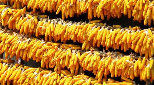 Corn drying in the sun near Shangzhou, Shaanxi Province, China