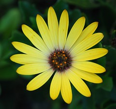 Shining like the sun (Miss Claeson) Tags: summer flower nikon sweden dalar nikond80