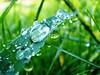 Dopo la pioggia 5 (@tamari@) Tags: macro foglie natura pointofview riflessi pioggia prato gocce digitalcameraclub bej macrolife gotasdrops macrolovers