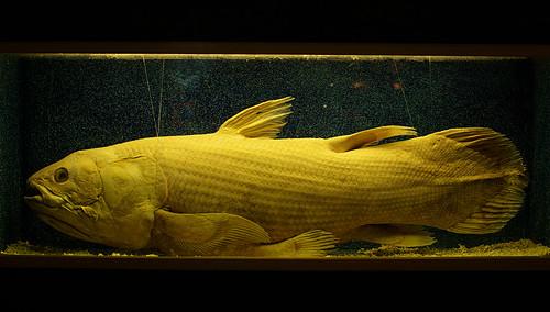 Coelacanth - IMGP9026