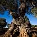 Ulivi di Puglia / Olivetrees from Apulia