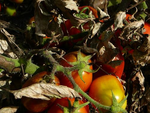 Tomaten 2008 (05)