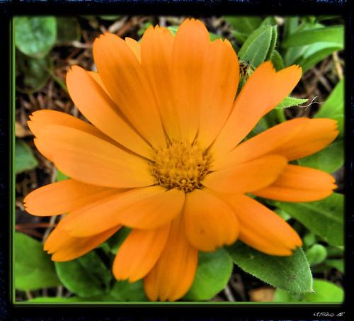 marigold supershot abigfave ysplix