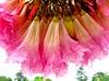 ipê rosa (ype- tabebuia heterophylla) pink trumpette tree flwoers buket detail - Sao Paulo Brazil (mauroguanandi) Tags: pink ipê bignoniaceae ypê mimamorflores tabebuiaheterophyla