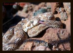 saw scaled viper (disturbedfred) Tags: india saw thanjavur viper scaled sawscaledviper snakesofindia