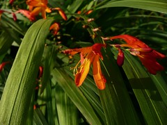 Montbretia (mweav31) Tags: ireland red orange flower green nature outdoors wildlife september donegal ardara montbretia crocosmiaxcrocosmiiflora spanishladies ardanrtha fealeastramdearg