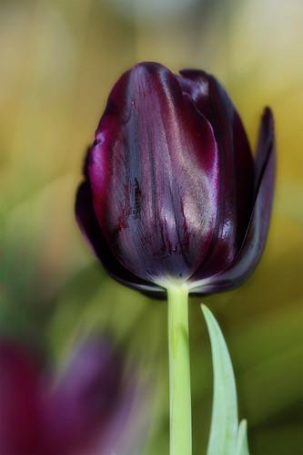 My first Black Tulip